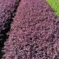 湖南长沙园林绿化色块苗基地供应红花继木小苗高度20-40cm