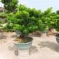 直销罗汉松 四川造型罗汉松盆景 自家苗圃优质供应