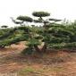 出售罗汉松 浙江造型罗汉松盆景 基地直发 庭院树苗
